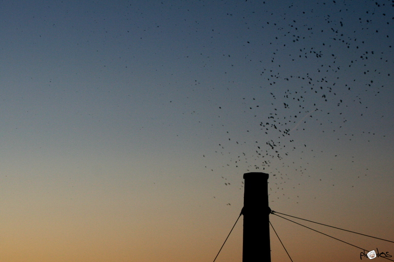 Vaux's Swifts in Portland
